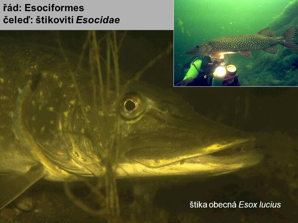 štika obecná Esox lucius řád: Esociformes čeleď: štikovití Esocidae