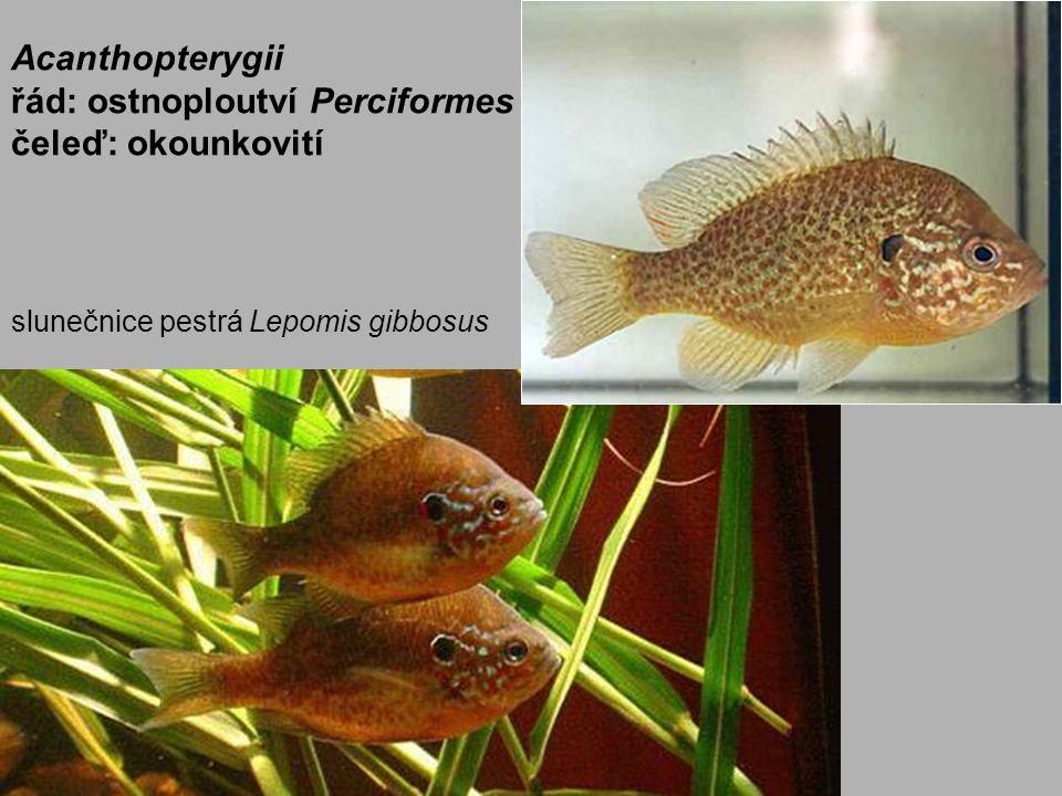 Acanthopterygii řád: ostnoploutví Perciformes čeleď: okounkovití slunečnice pestrá Lepomis gibbosus