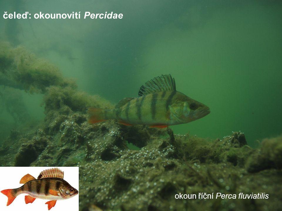 okoun říční Perca fluviatilis čeleď: okounovití Percidae