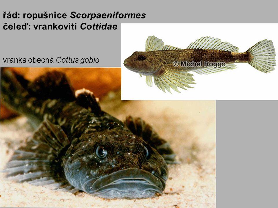 vranka obecná Cottus gobio řád: ropušnice Scorpaeniformes čeleď: vrankovití Cottidae