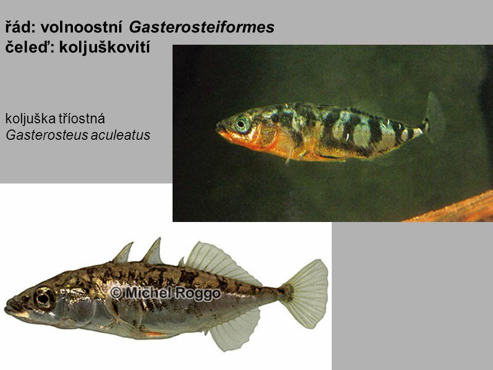 koljuška tříostná Gasterosteus aculeatus řád: volnoostní Gasterosteiformes čeleď: koljuškovití