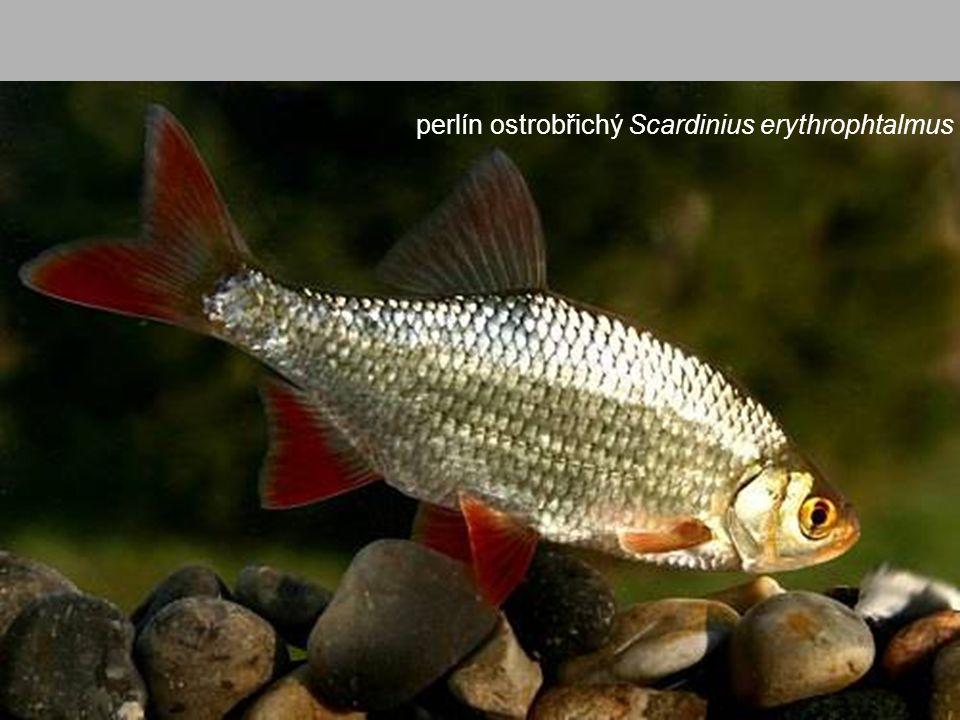 perlín ostrobřichý Scardinius erythrophtalmus