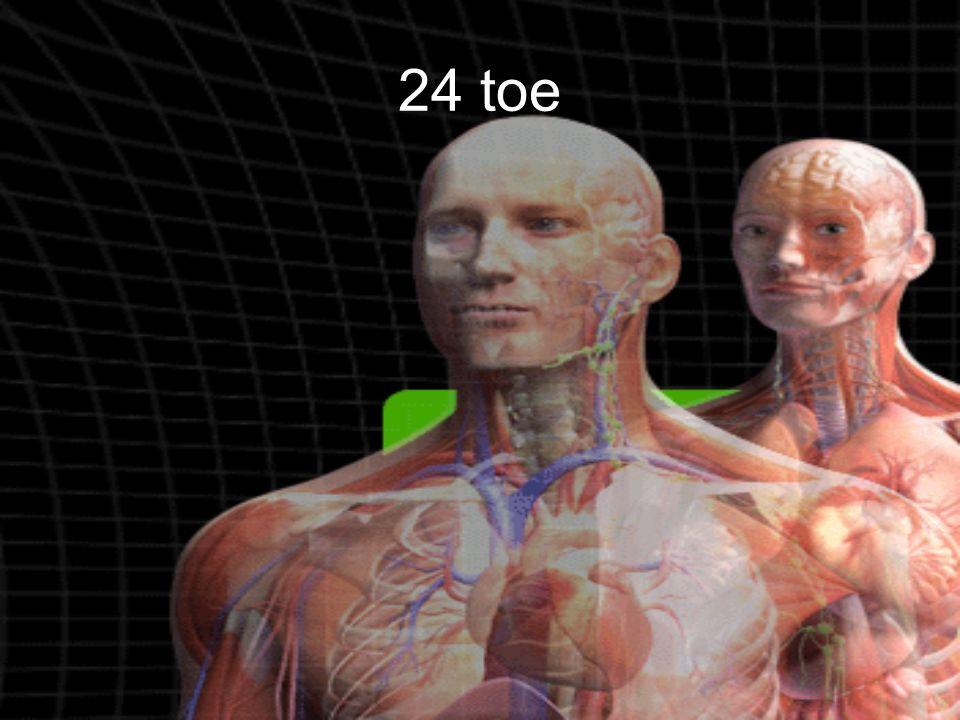 24 toe