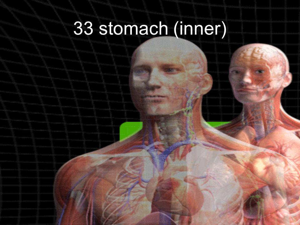 33 stomach (inner)