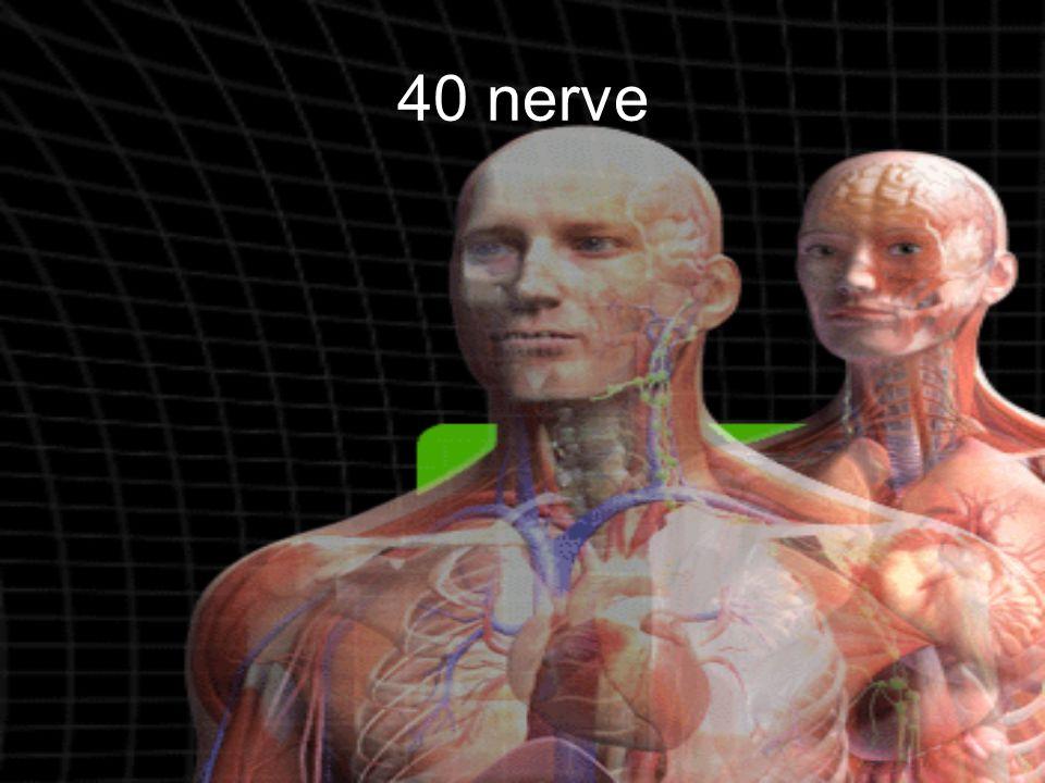 40 nerve