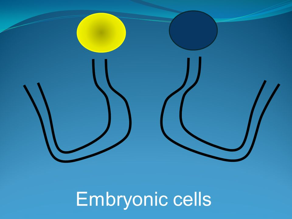 Embryonic cells