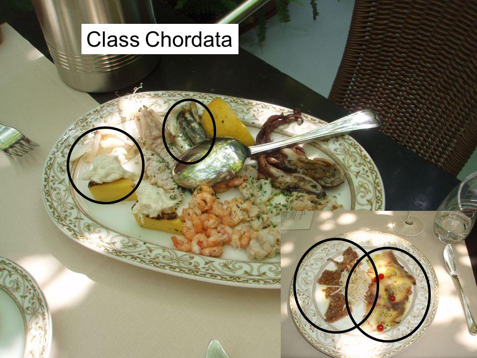 Class Chordata