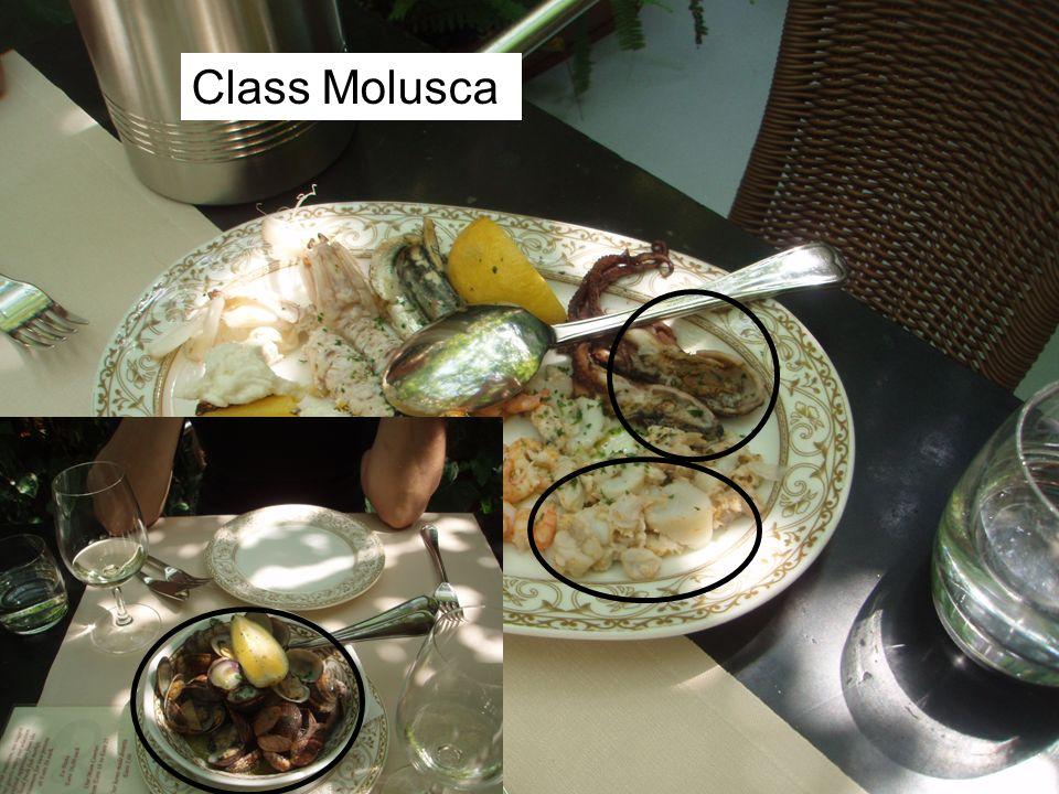 Class Molusca