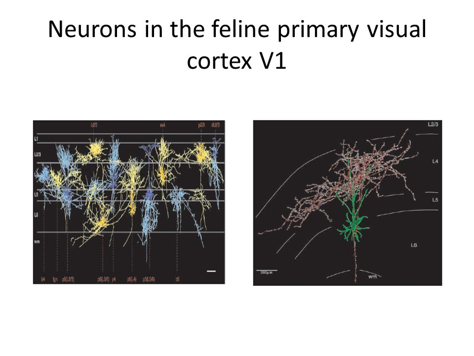Neurons in the feline primary visual cortex V1
