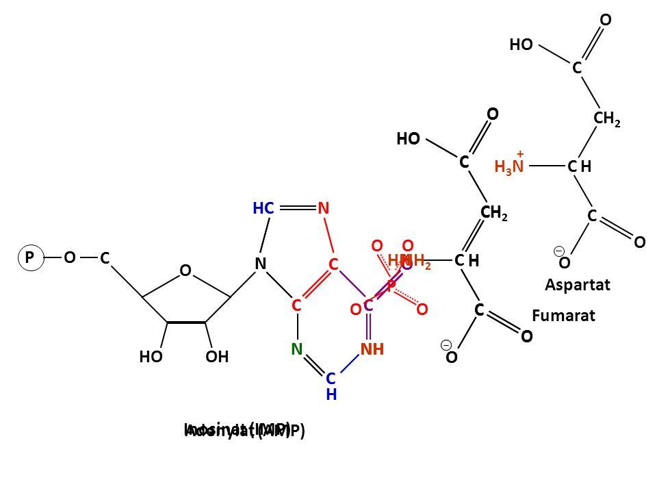 Adenylat (AMP) C C CH C H O HO O O N N N C C HC C N C H N N N C C C O NH C H GDP O OH HO C PO GTP C H3NH3N C CH 2 C H O HO O O + Aspartat Fumarat Inosinat (IMP) C HN C CH 2 C H O HO O O H NH 2 O P OO O