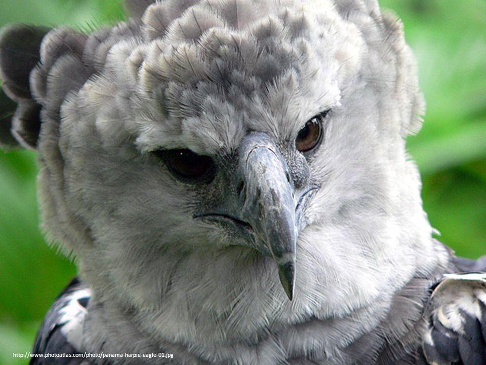 faun http://www.photoatlas.com/photo/panama-harpie-eagle-01.jpg