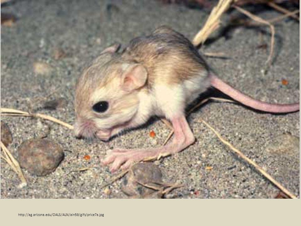 kangaroo rat sea star http://ag.arizona.edu/OALS/ALN/aln59/gifs/price7a.jpg
