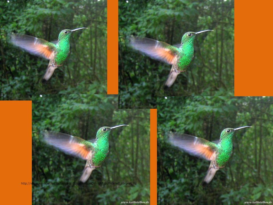 http://www.kolibriethos.de/uploads/Ethos/641px-DirkvdM_buff-tailed_coronet.jpg