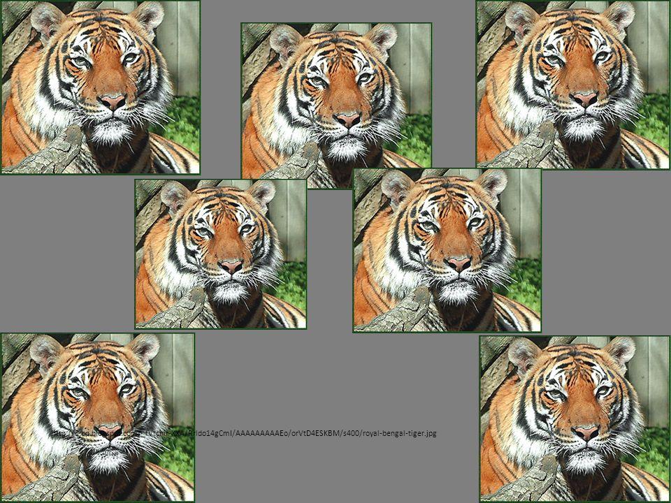 http://3.bp.blogspot.com/_fVtcnir-XXA/Rrldo14gCmI/AAAAAAAAAEo/orVtD4ESKBM/s400/royal-bengal-tiger.jpg