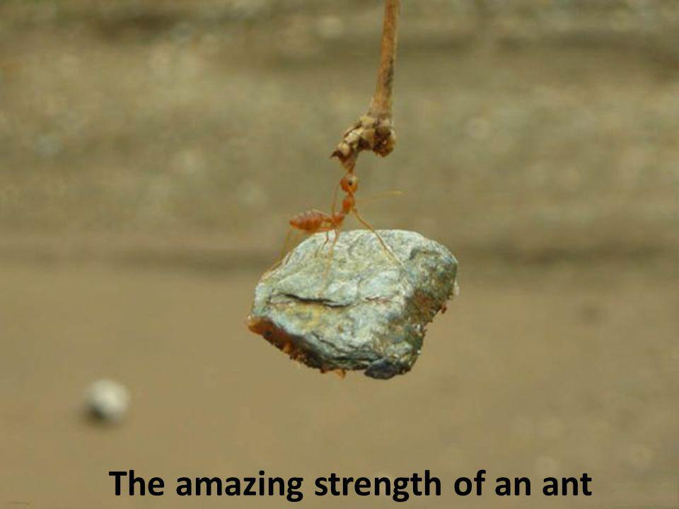 The amazing strength of an ant