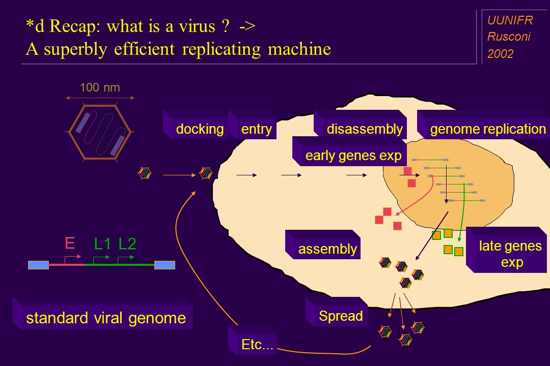 *d Recap: what is a virus ? -> A superbly efficient replicating machine a aa a aa UUNIFR Rusconi 2002 E L1L2 standard viral genome 100 nm replication
