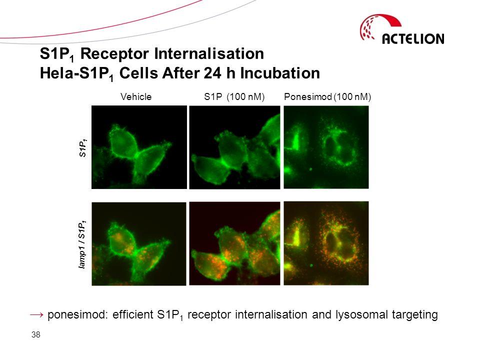 ponesimod: efficient S1P 1 receptor internalisation and lysosomal targeting Ponesimod (100 nM)S1P (100 nM)Vehicle S1P 1 lamp1 / S1P 1 S1P 1 Receptor I