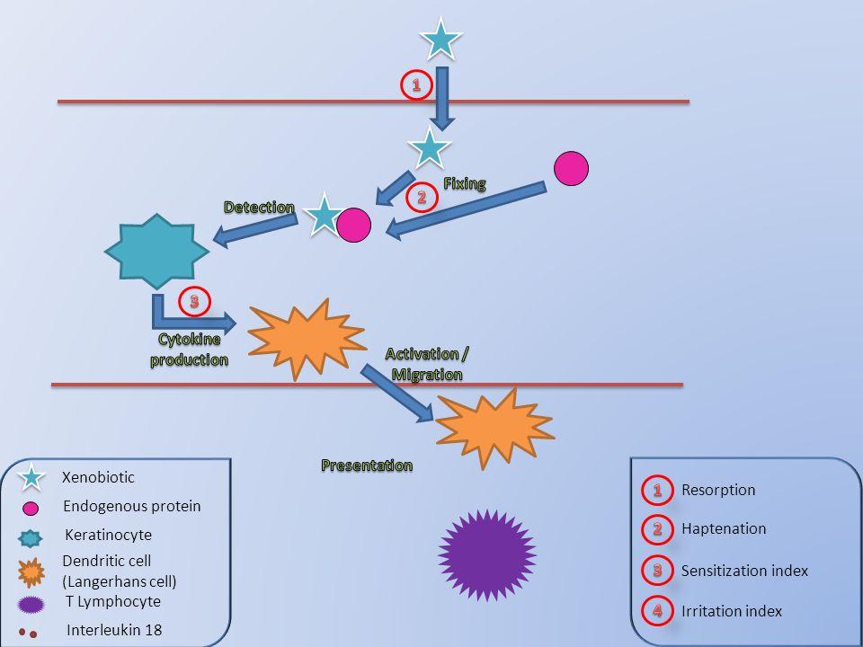 Haptenation Sensitization index Irritation index Xenobiotic Endogenous protein Keratinocyte Dendritic cell (Langerhans cell) T Lymphocyte Interleukin