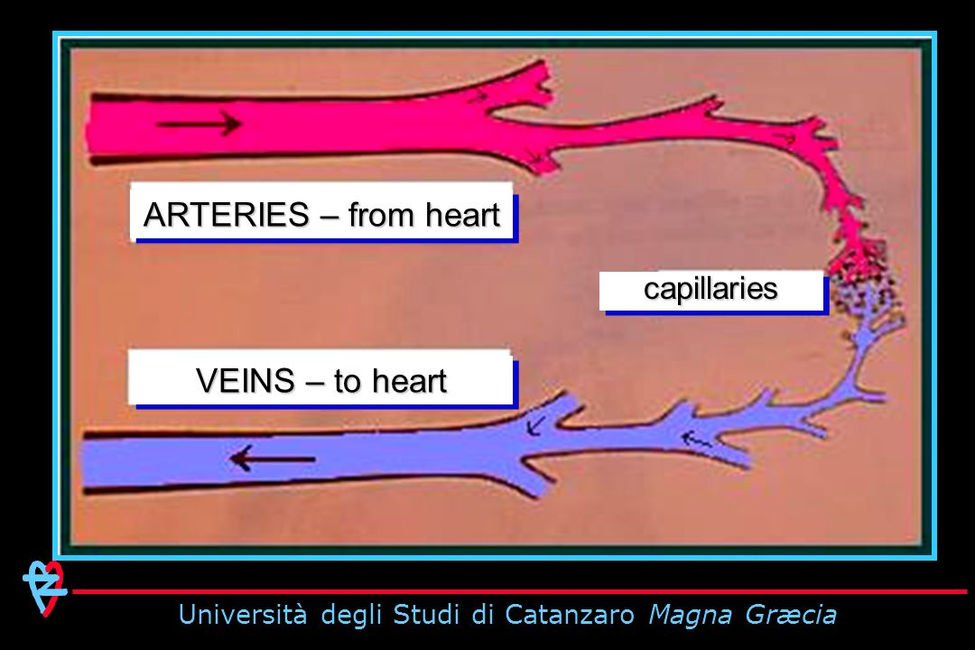 ARTERIES – from heart VEINS – to heart capillariescapillaries