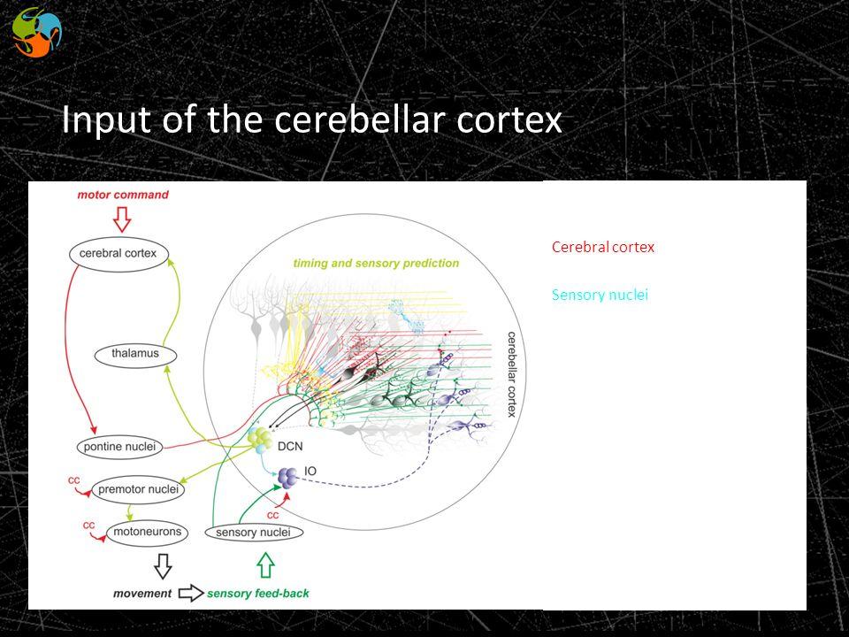 Convey channel: Cerebral cortex Sensory nuclei Input of the cerebellar cortex
