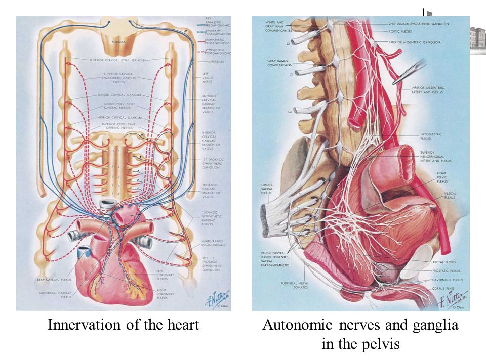 Innervation of the heartAutonomic nerves and ganglia in the pelvis