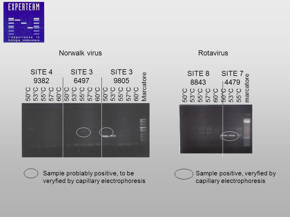 Norwalk virus Sample problably positive, to be veryfied by capillary electrophoresis 50°C 53°C 55°C 57°C 60°C 50°C 53°C 55°C 57°C 60°C 50°C 53°C 55°C 57°C 60°C Marcatore SITE 4 9382 SITE 3 6497 SITE 3 9805 Rotavirus 50°C 53°C 55°C 57°C 60°C 50°C 53°C 55°C marcatore SITE 8 8843 SITE 7 4479 Sample positive, veryfied by capillary electrophoresis