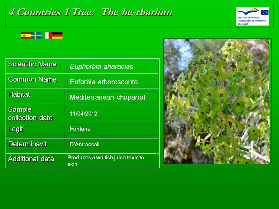 Scientific Name Common Name Habitat Sample collection date Legit Determinavit Additional data 4 Countries 1 Tree: The he-rbarium Place here the herb p