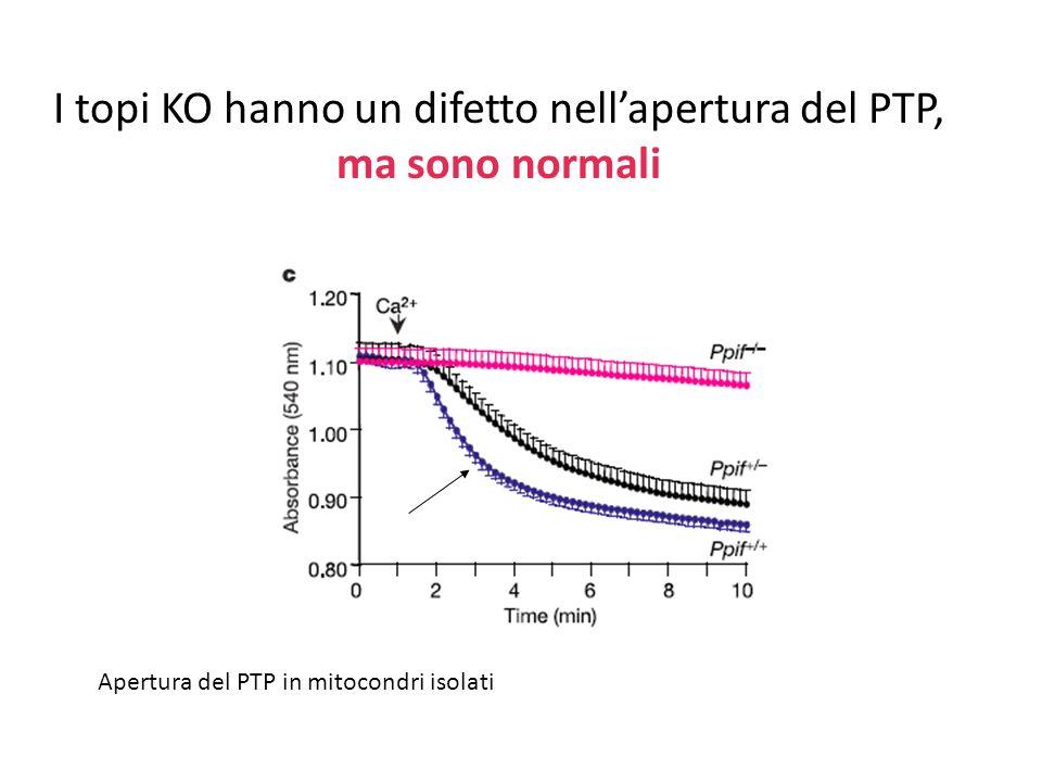 I topi KO hanno un difetto nellapertura del PTP, ma sono normali Apertura del PTP in mitocondri isolati
