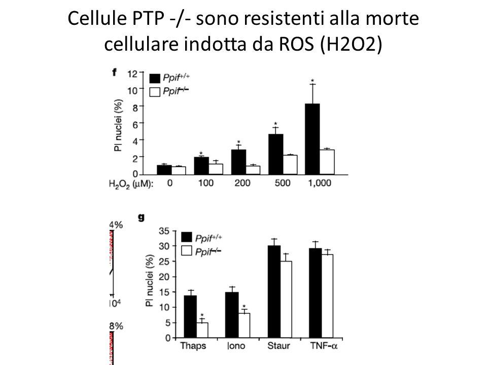 Cellule PTP -/- sono resistenti alla morte cellulare indotta da ROS (H2O2)