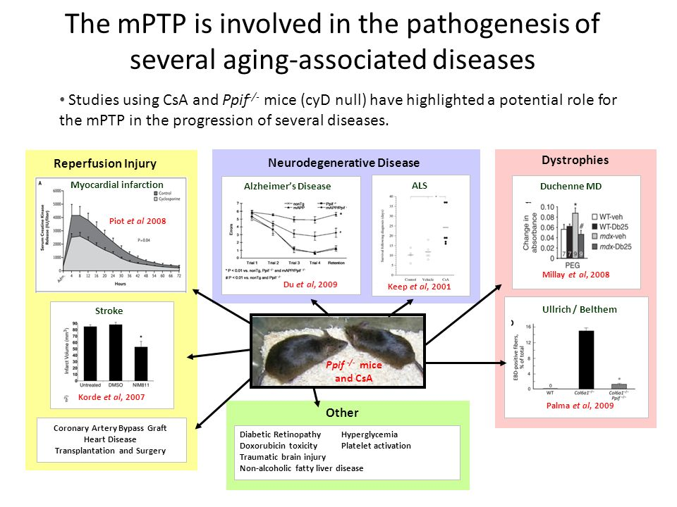 The mPTP is involved in the pathogenesis of several aging-associated diseases Studies using CsA and Ppif -/- mice (cyD null) have highlighted a potential role for the mPTP in the progression of several diseases.