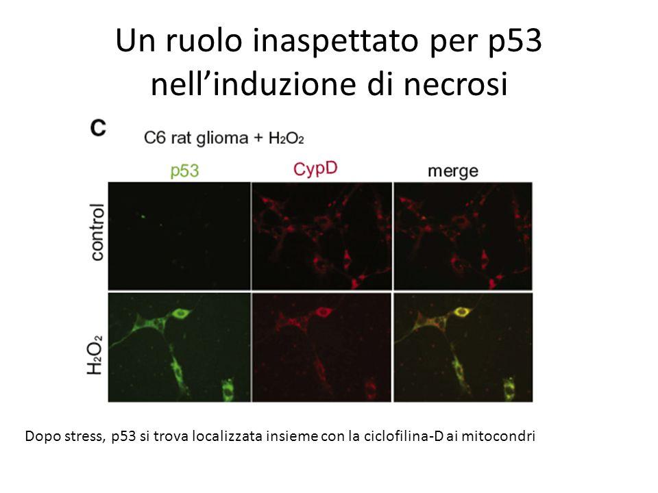Un ruolo inaspettato per p53 nellinduzione di necrosi Dopo stress, p53 si trova localizzata insieme con la ciclofilina-D ai mitocondri