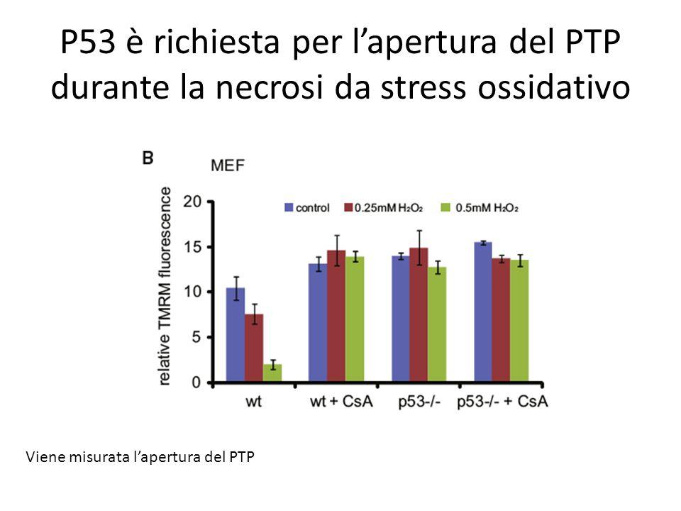 P53 è richiesta per lapertura del PTP durante la necrosi da stress ossidativo Viene misurata lapertura del PTP