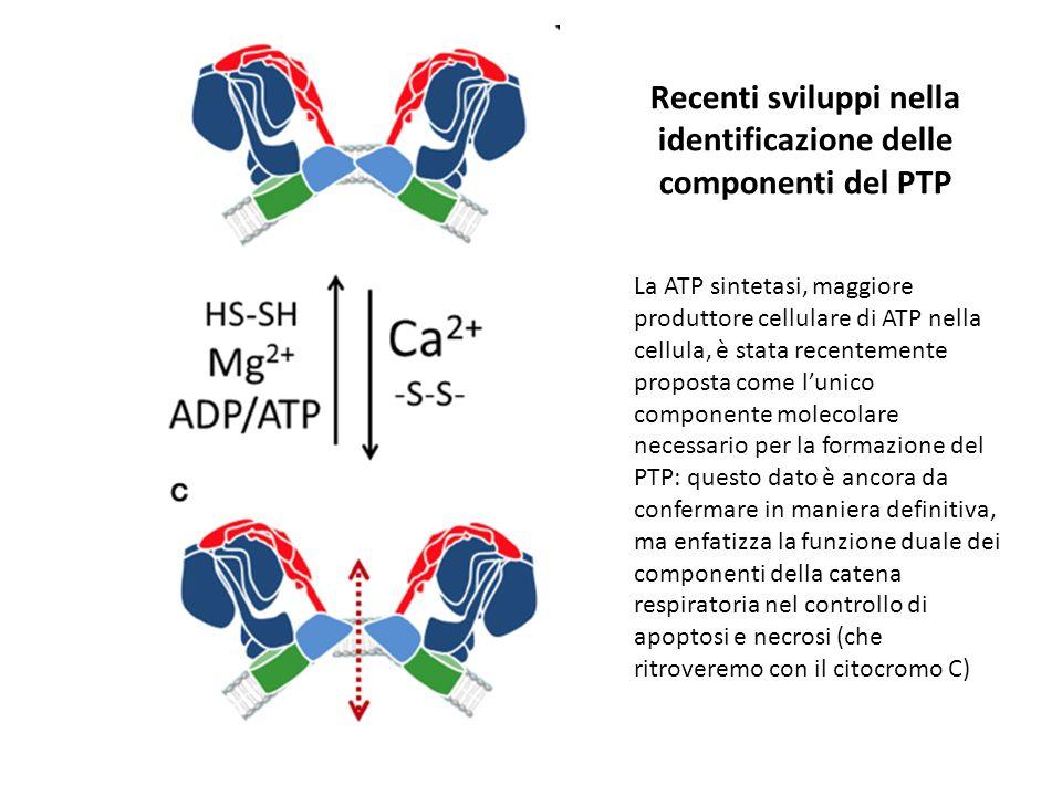 Recenti sviluppi nella identificazione delle componenti del PTP La ATP sintetasi, maggiore produttore cellulare di ATP nella cellula, è stata recentemente proposta come lunico componente molecolare necessario per la formazione del PTP: questo dato è ancora da confermare in maniera definitiva, ma enfatizza la funzione duale dei componenti della catena respiratoria nel controllo di apoptosi e necrosi (che ritroveremo con il citocromo C)