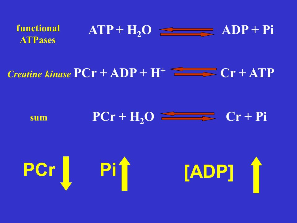 ATP + H 2 OADP + Pi functional ATPases PiPCr [ADP] PCr + ADP + H + Cr + ATP Creatine kinase PCr + H 2 OCr + Pi sum
