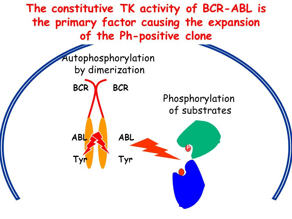 ABL Tyr BCR Autophosphorylation by dimerization P Phosphorylation of substrates The constitutive TK activity of BCR-ABL is the primary factor causing