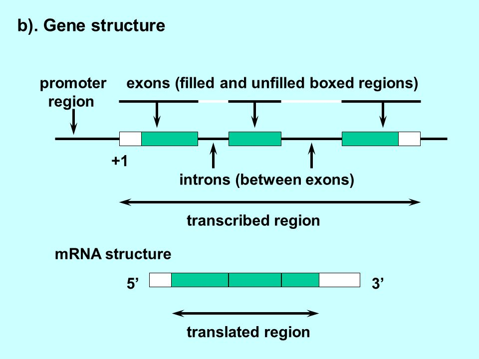 53 promoter region exons (filled and unfilled boxed regions) introns (between exons) transcribed region translated region mRNA structure +1 b).
