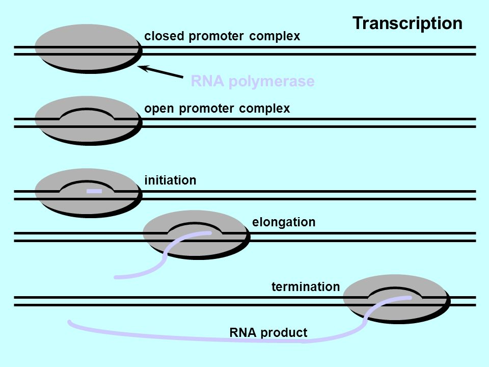 Transcription RNA polymerase closed promoter complex open promoter complex initiation elongation termination RNA product