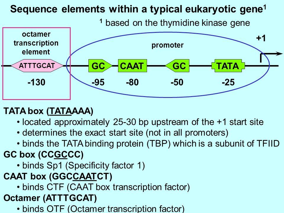 Sequence elements within a typical eukaryotic gene 1 GCTATACAATGC -25-50-80-95-130 1 based on the thymidine kinase gene octamer transcription element