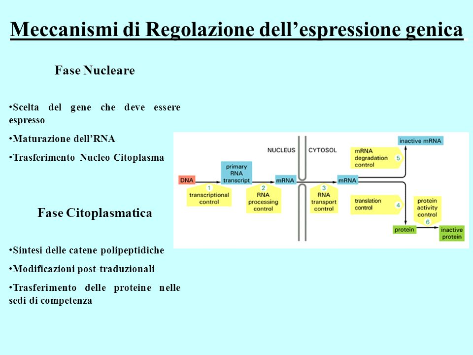 Meccanismi di Regolazione dellespressione genica Fase Nucleare Scelta del gene che deve essere espresso Maturazione dellRNA Trasferimento Nucleo Citoplasma Fase Citoplasmatica Sintesi delle catene polipeptidiche Modificazioni post-traduzionali Trasferimento delle proteine nelle sedi di competenza