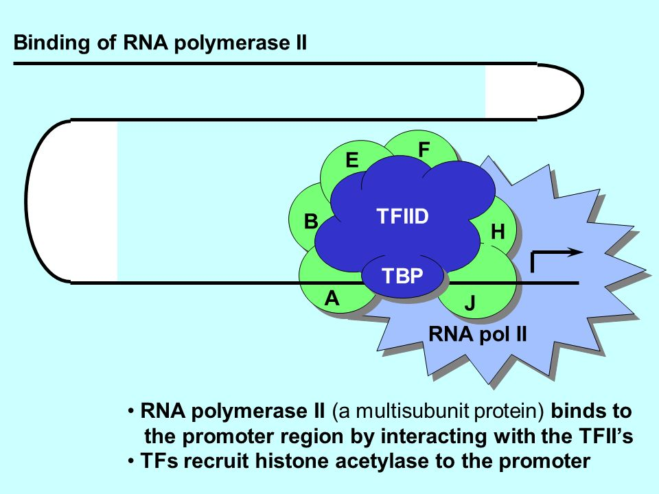 RNA pol II TBP TFIID A B E F H J RNA polymerase II (a multisubunit protein) binds to the promoter region by interacting with the TFIIs TFs recruit his