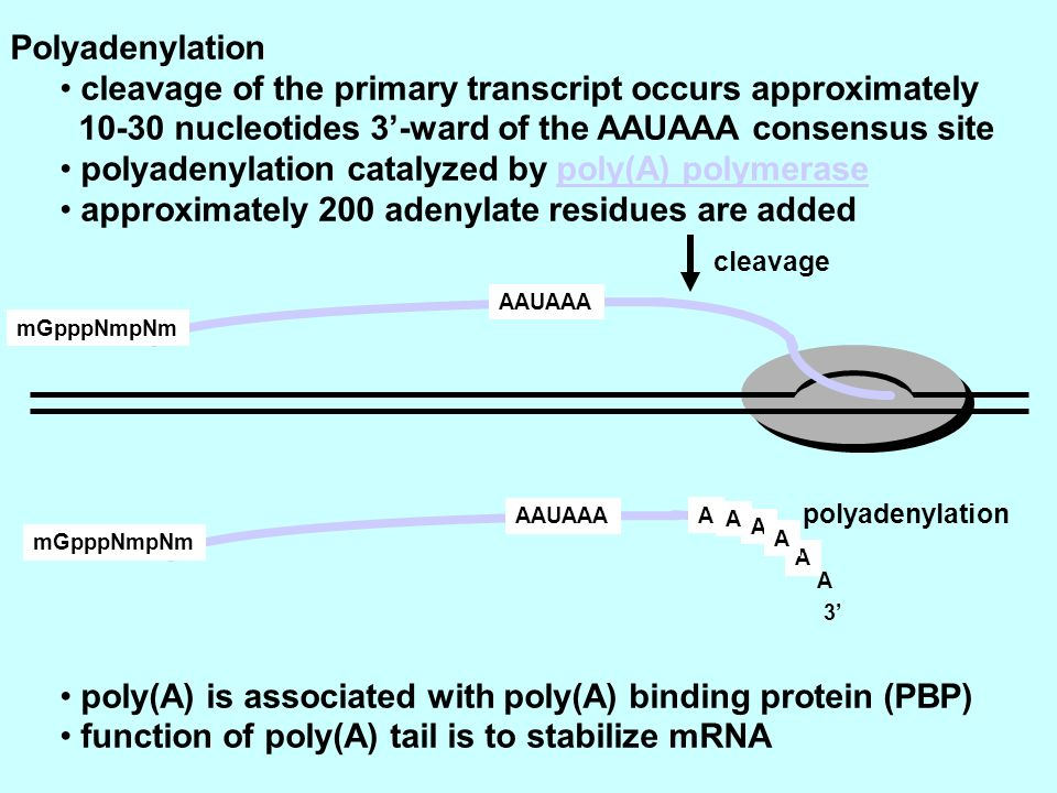 Polyadenylation cleavage of the primary transcript occurs approximately 10-30 nucleotides 3-ward of the AAUAAA consensus site polyadenylation catalyzed by poly(A) polymerase approximately 200 adenylate residues are added poly(A) is associated with poly(A) binding protein (PBP) function of poly(A) tail is to stabilize mRNA mGpppNmpNm AAUAAA mGpppNmpNm AAUAAA A A A A A A 3 cleavage polyadenylation