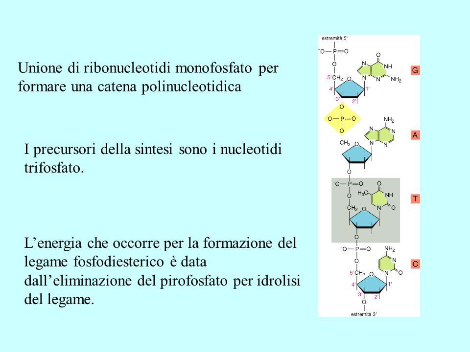 Unione di ribonucleotidi monofosfato per formare una catena polinucleotidica I precursori della sintesi sono i nucleotidi trifosfato. Lenergia che occ