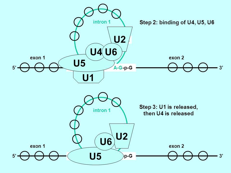 G-p-G-U A-G-p-G 2OH-A -53 intron 1 exon 1exon 2 Step 2: binding of U4, U5, U6 U1 U5 U2 U4 U6 G-p-G-U A-G-p-G 2OH-A -53 intron 1 exon 1exon 2 Step 3: U1 is released, then U4 is released U5 U2 U6
