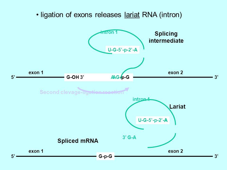 G-OH 3 A-G-p-G U-G-5-p-2-A 53A A O - G-p-G53 U-G-5-p-2-AA 3 G-A Splicing intermediate Lariat exon 1 exon 2 intron 1 Second clevage-ligation reaction S