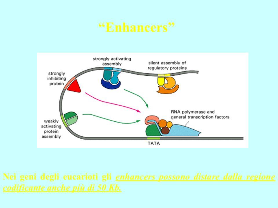Nei geni degli eucarioti gli enhancers possono distare dalla regione codificante anche più di 50 Kb. Enhancers