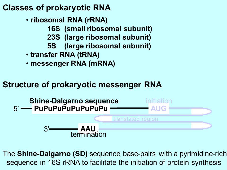 ribosomal RNA (rRNA) 16S (small ribosomal subunit) 23S (large ribosomal subunit) 5S (large ribosomal subunit) transfer RNA (tRNA) messenger RNA (mRNA)
