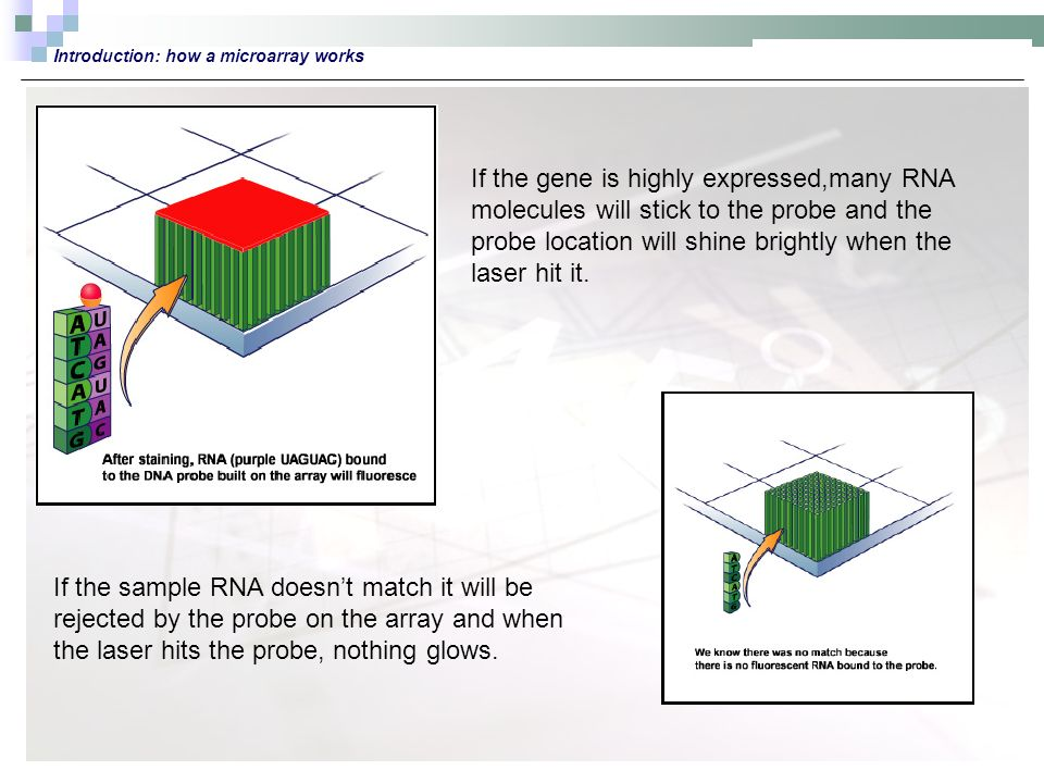 Introduction: how a microarray works If the gene is highly expressed,many RNA molecules will stick to the probe and the probe location will shine brightly when the laser hit it.