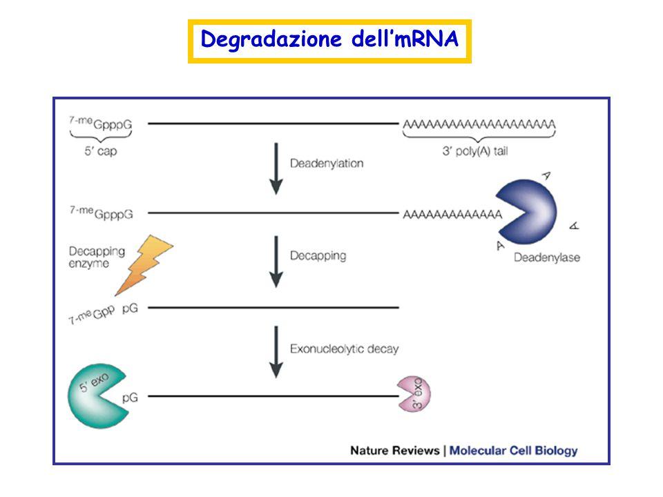 Degradazione dellmRNA