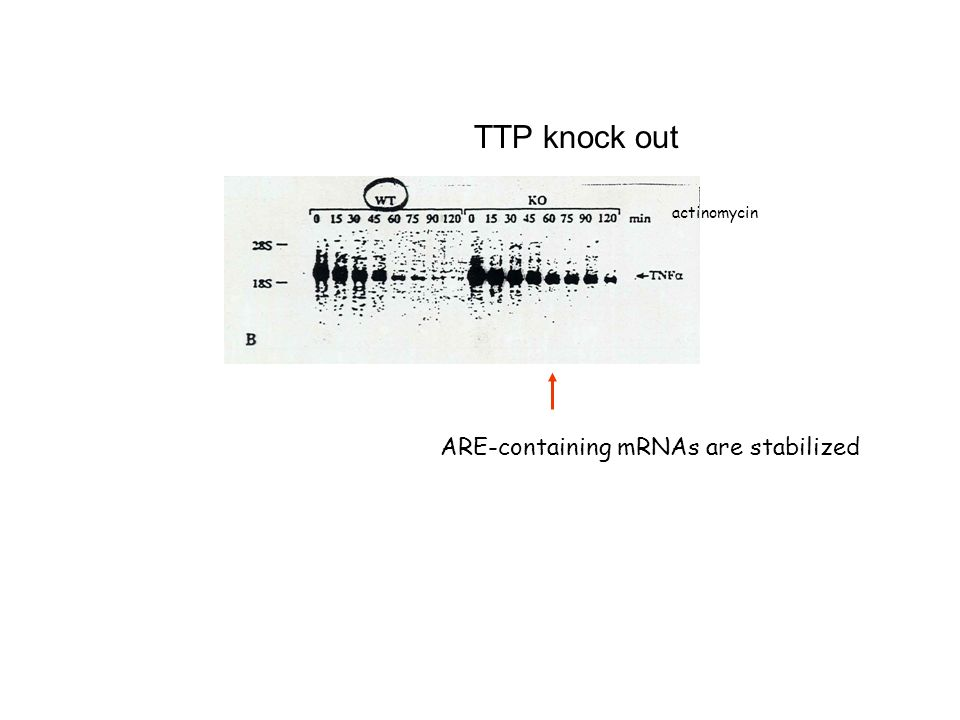 TTP knock out ARE-containing mRNAs are stabilized actinomycin