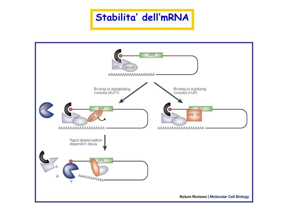 Stabilita dellmRNA